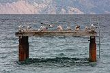 Morski galebovi u mjestu Baška, rivijera Krk