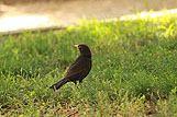 Mala ptica kos