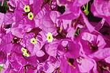 Bougainvillea is een veelvoorkomende plant aan de Adriatische kust