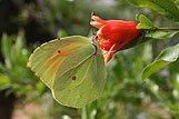 Detailný záber zeleného motýľa na červenom kvete