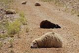 Ciekwae zdjęcie owiec na drodze, riwiera Pag