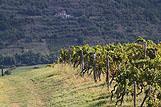 Vinograd na rivijeri Središnja Istra