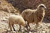 Prikaz ovce i malog janjeta na rivijeri Pag