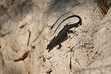 Bliski kadr czarnej jaszczórki na skałach