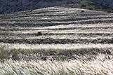 Stipa pennata ili perasto kovilje, otok Pag, rivijera Pag