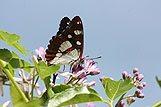 Podroben posnetek metulja Painted Lady na cvetu