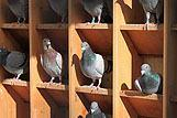 Podroben posnetek skupine golobov